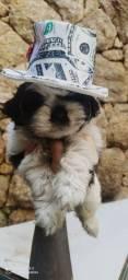 lhasa apso- lindos filhotes!!!