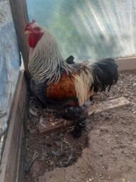 Título do anúncio: Casal de galinha Brahma