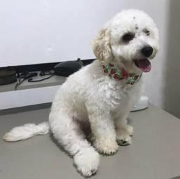 Título do anúncio: Poodle toy branca