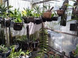 Coleção de orquídeas raras