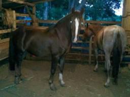 Cavalo para cavalgada (trote Macio)