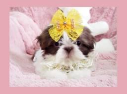 Belíssima shihtzu no pet shop Namu Royal! Foto real!