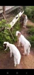 2 cabras paridas