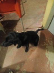 Labrador puro fêmea 3 meses