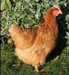 Venda de galinhas