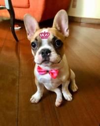 Bulldog Francês - Fêmea - Cruza