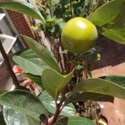 Frutiferas em Vaso Enxertadas Produzindo