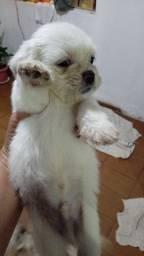 Vendo filhote lhasa apso Macho