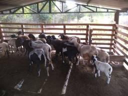 Vendo carneiros 12,50 o kilo