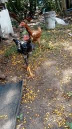 Vende-se casal de galinhas caipiras