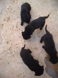 Doa-se filhotes de Labrador