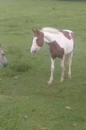 Potra paint horse top