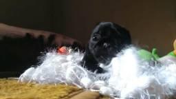 Fêmea Pug preta