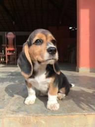 Filhotes de Beagle (2 machos)