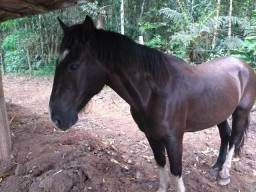 Cavalo crioulo com registro confirmado 10 anos