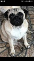 Pug mini pedigree cbkc