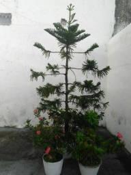 Lindo Pinheiro Adaptado ao Vaso.
