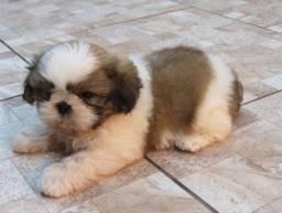Me Mudei pra goiania e achei um dog raça shitzu mini