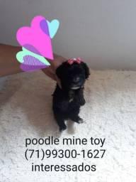 Poodle Mine toy 6x S/juros entregamos a domicílio porte pequena