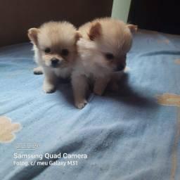 Título do anúncio: Lindos filhotes Lulu da Pomerânia
