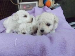 Poodle micro toy machos e fêmeas parcelamos em até 12 x sem juros