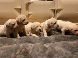 Labrador filhotes maravilhoso,parcelamos em até 12 x sem juros