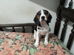 Título do anúncio: Filhotes de beagle disponíveis