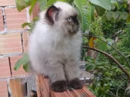 Vendo lindo gato persa himalaia