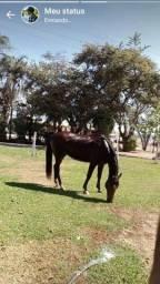 Égua QM 7/8, 5 anos, Domada