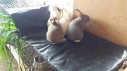 Filhotes de coelho gigante de Flandres