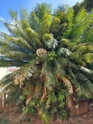 Palmeira cica de 25 anos com mudas