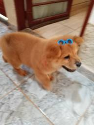 Vendo cachorro filhote da raça Chow Chow macho aceito proposta