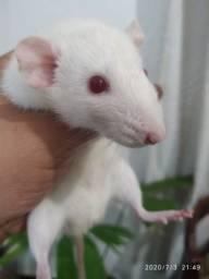 Vendo filhotes de ratos twister