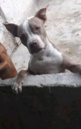 Vende se ou trocar pitbull Red nose