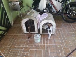 Filhote de cachorro pastor alemão com vira-lata porte grande