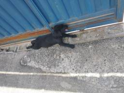 Vendo filhote de labrador
