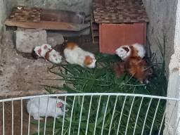 Vende se filhotes de porquinhos da Índia