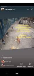 Frangos fihloos de índio gigante com galinha caipira