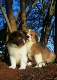 Últimos filhotes de border collie disponíveis para entrega