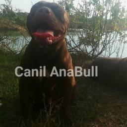 Pitbull puros com pedigree atestado de saúde acompanhamento pos venda wpp 21 992490832