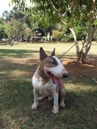 Bull terrier inglês COBERTURA