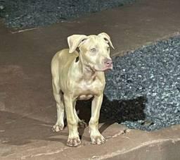 Fêmea de pit bull pedigree ADBA