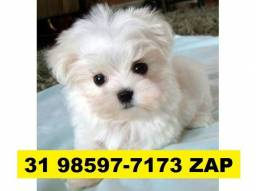 Canil Lindos Filhotes Cães BH Maltês Shihtzu Poodle Yorkshire Lhasa