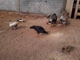 Vendo patos e filhotes