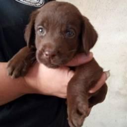 Filhotinha de Labrador chocolate com pedigree