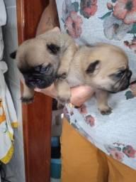 Vendo filhote de Bulldog francês fêmea zap *