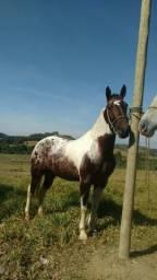 Vendo cavalo mangalarga com apaluza