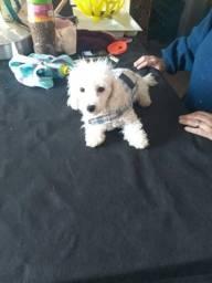 Poodle micro macho