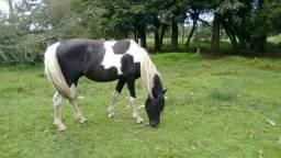 Cavalo Pampa de Preto