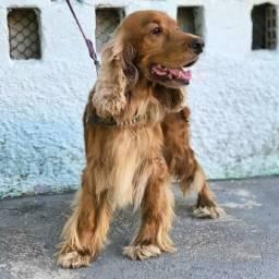 Cocker Spaniel Macho Disponível para Cruza com pedigree